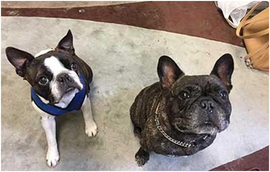 French Bulldog vs. Boston Terrier