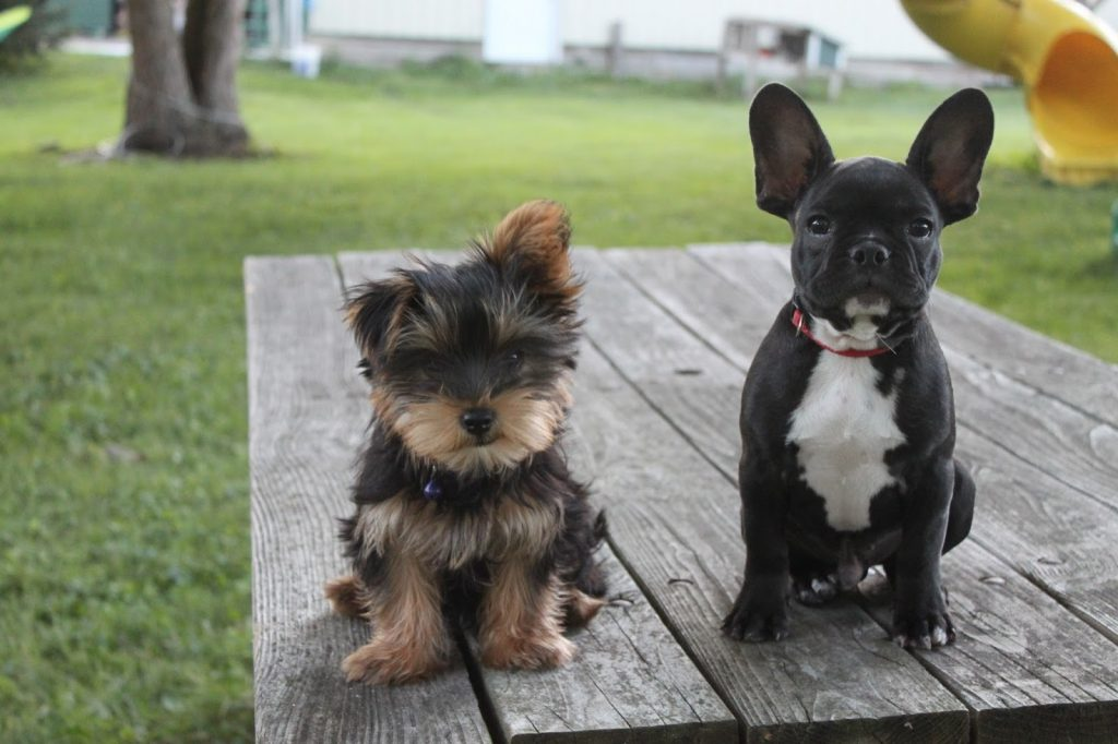The Most Friendly French Bulldog Yorkie Mix Askfrenchiecom