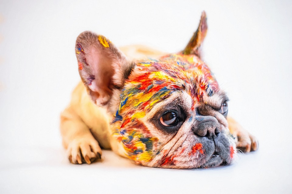 french bulldog eye problems-cream