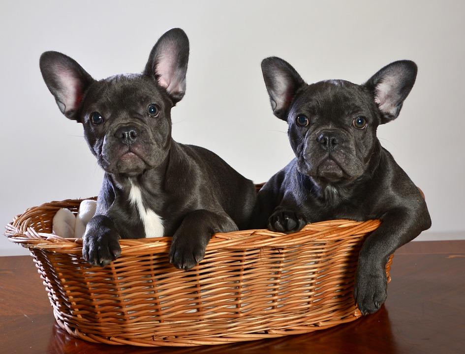 french bulldog ears