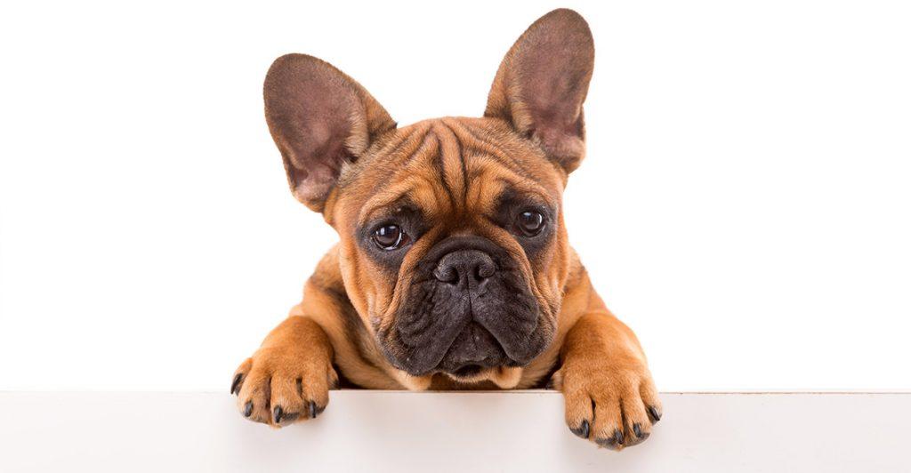 french bulldog treats